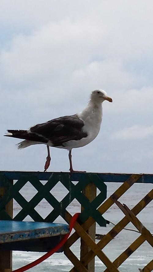 Popotla Seagull
